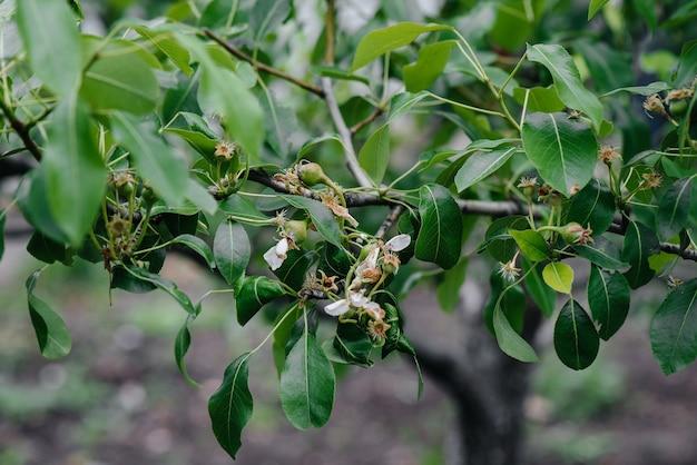 Grüne wachsende äpfel auf den zweigen der bäume aus nächster nähe.