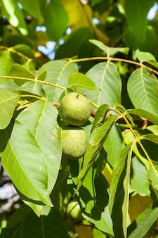 Grüne walnuss-walnüsse im hochsommer, unreife nüsse mit grünen blättern