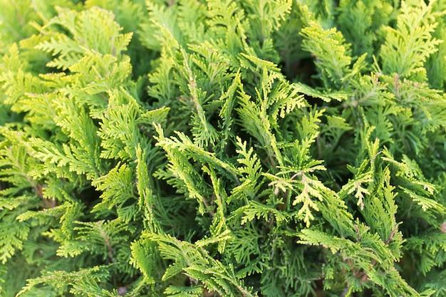 Grüne wand des cupressus-baums als hintergrundtextur natürliches tapetenkonzept