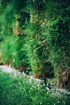 Grüne wand. eco freundliches vertikales gartenkonzept. natur-, sommer-, frühlings- und gartenkonzept