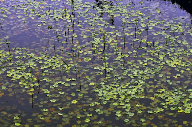 Grüne wasserpflanzen, die in einem sumpf schwimmen