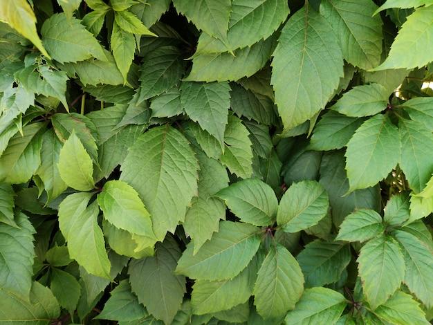 Grüne weinblätter an der wand