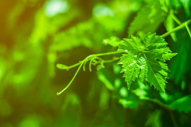 Grüne weinblätter in einem weinberg.
