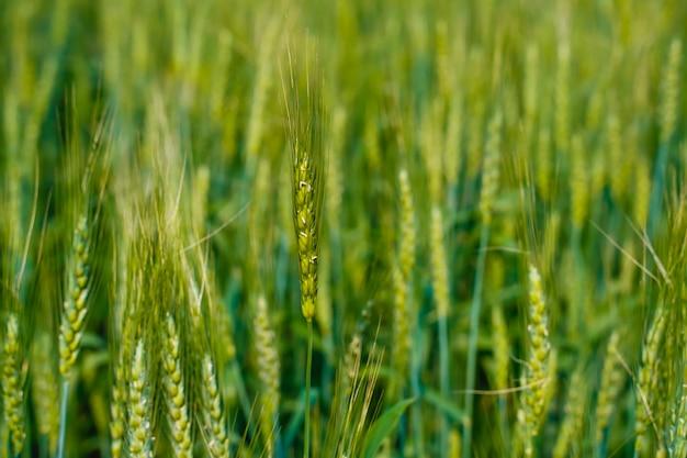 Grüne weizenfarm in indien