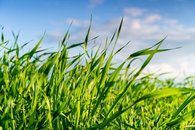 Grüne wiese oder rasen im sommersonnenuntergang. natürlicher hintergrund