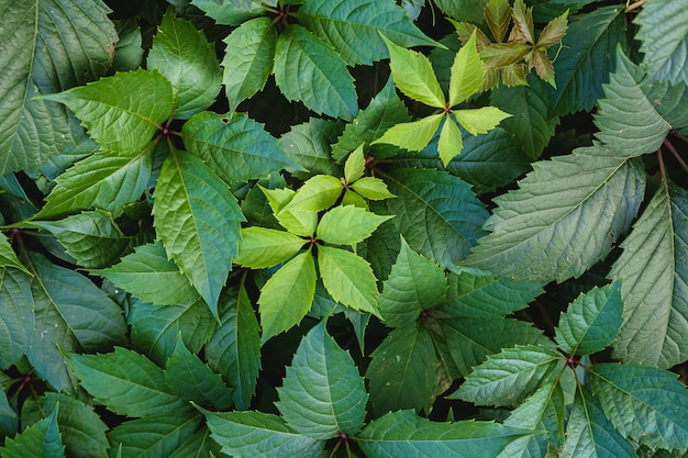 Grüne wilde weinblätter mit sonnenlicht und schatten, sommerfrühlingslaub