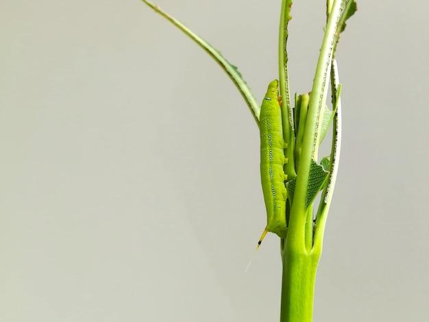 Grüne wurmraupentiere isolieren das essen des grünen blattes