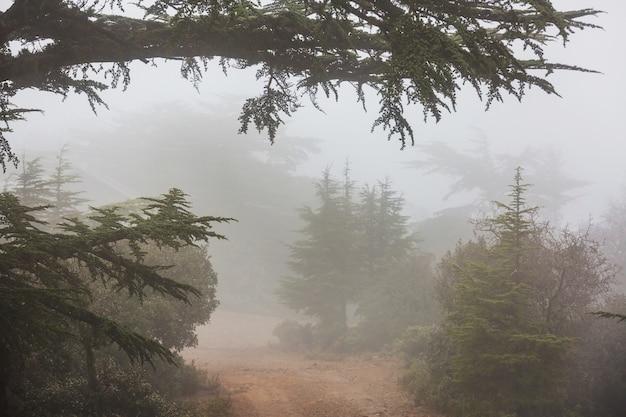 Grüne zedern in zypern bergen
