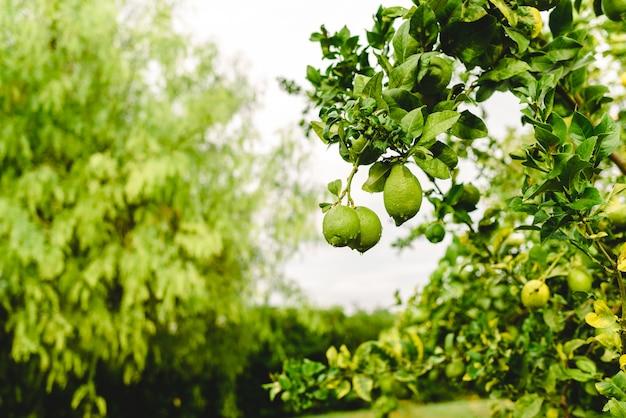 Grüne zitronen, die vom zitronenbaum an einem regnerischen tag hängen.