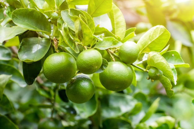 Grüne zitronenlimette auf baum im garten, frisches limettengrün auf dem baum mit hellem bokehhintergrund