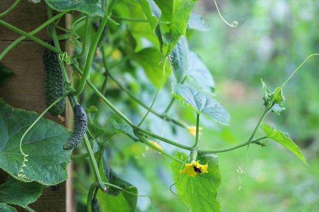 Grüne zweige der gurkenpflanze mit jungem gemüse und gelben blüten