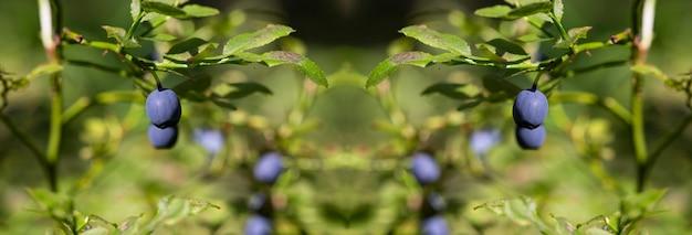 Grüne zweige mit heidelbeere im wald. beeren von waldheidelbeeren. bündel beeren