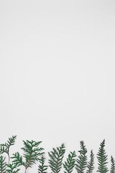 Grüne zweige von thuja auf einem weißen hintergrund. kopieren sie platz, flach liegen, modell, draufsicht.