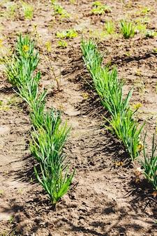 Grüne zwiebeln, weiße lauchsämlinge, die reihen junger frühlingszwiebeln im garten pflanzen