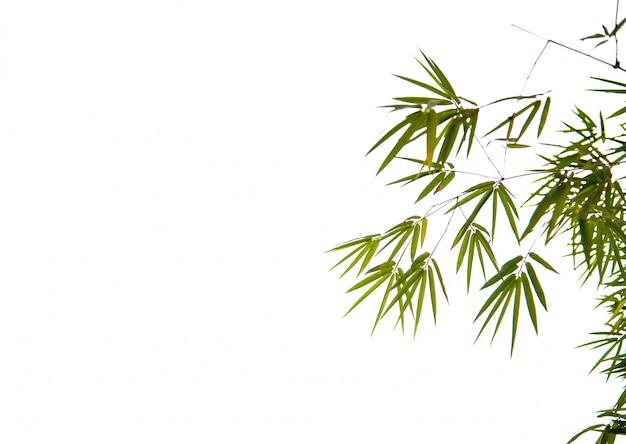 Grüner bambus mit weißem hintergrund