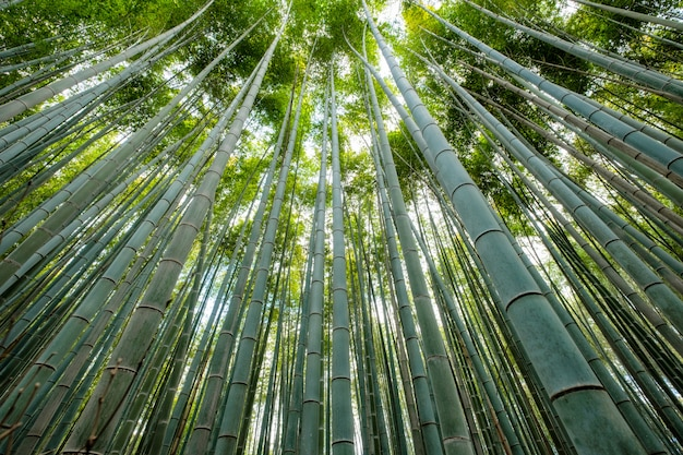 Grüner bambushainwald mit sonnenlicht