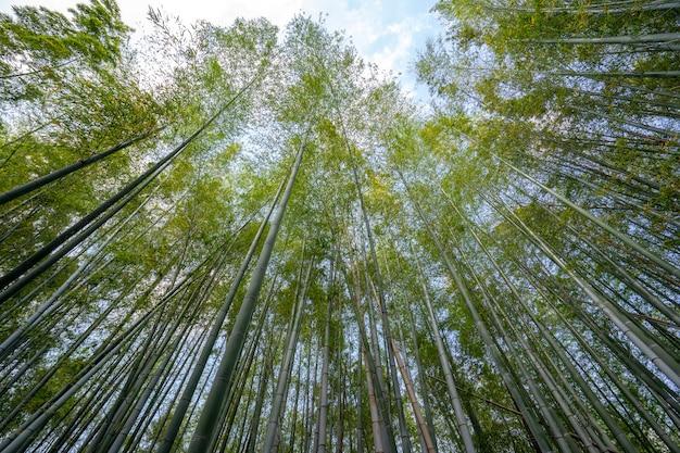 Grüner bambuswaldnaturhintergrund in japan.
