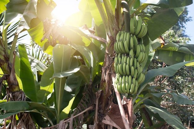 Grüner bananenbund