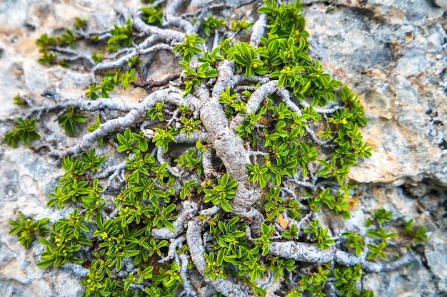 Grüner baum, der auf dem felsen wächst. naturkonzepthintergrund