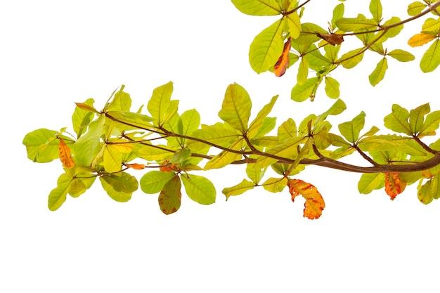 Grüner baum des blattes lokalisiert auf weißem hintergrund, beschneidungspfad.