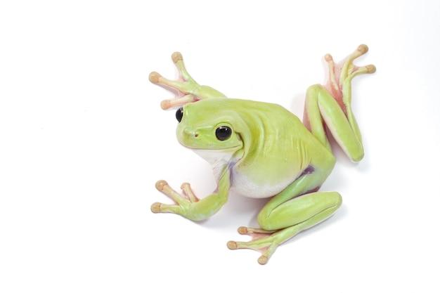 Grüner baum-frosch auf weißem hintergrund