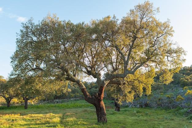 Grüner baum im frühjahr in der extremadura, spanien