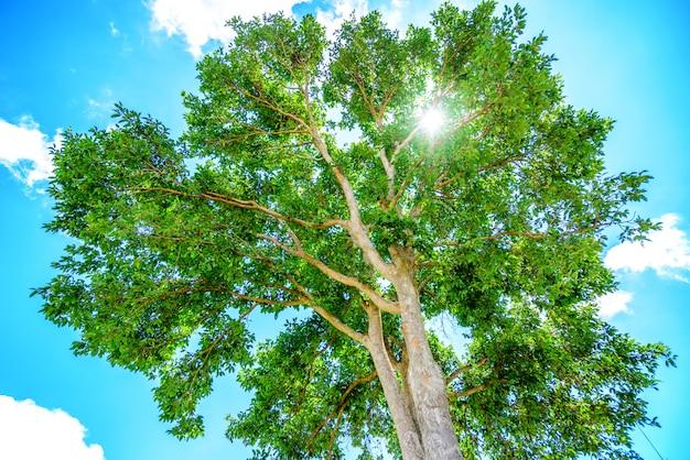 Grüner baum mit blauem himmel und sonnenschein