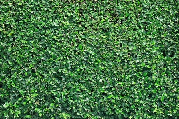 Grüner baumwandhintergrund, beschaffenheit des natürlichen zauns.