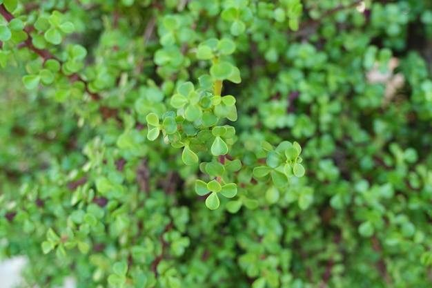 Grüner blumenhintergrund, nahaufnahmebeschaffenheit. dekorativer busch sukkulente portulacaria afra für die landschaftsgestaltung von gärten, höfen von gehöften, südlichen parks