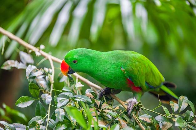 Grüner eclectus papagei, der auf zweig sitzt