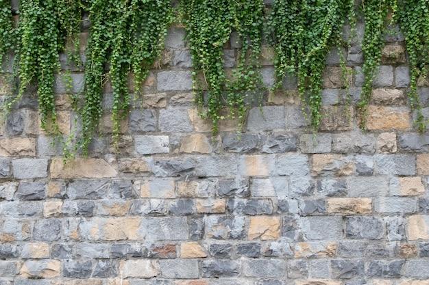 Grüner efeu auf ray beige backsteinmauer hintergrund.