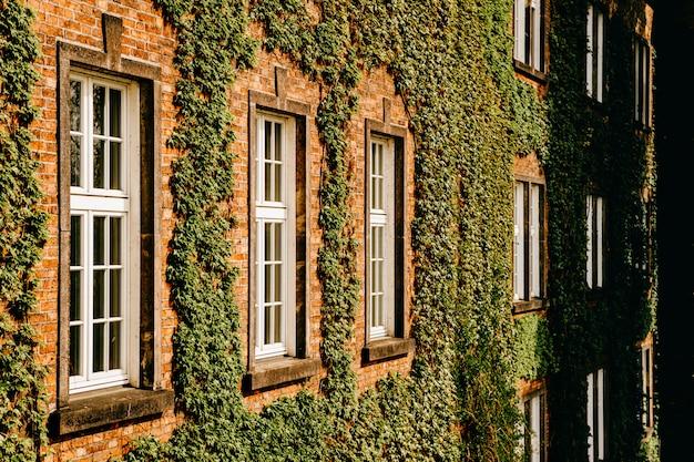 Grüner efeu bedeckt backsteinmauer mit fenstern.