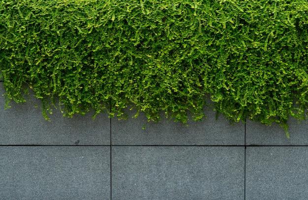 Grüner efeu bedeckte betonwandbeschaffenheitshintergrund