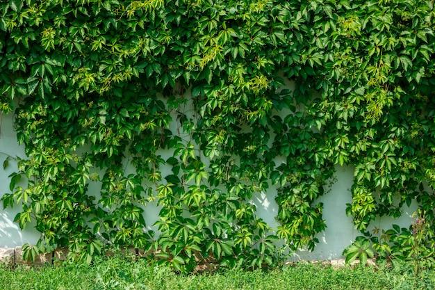 Grüner efeu, der an der wand des zauns hängt.