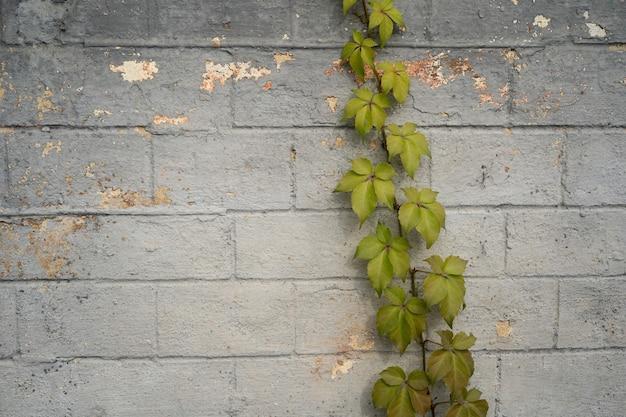 Grüner efeu, der auf grauer backsteinmauer wächst. abstrakter hintergrund. mit pflanzen bewachsenes mauerwerk