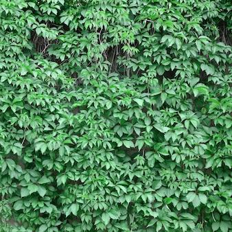 Grüner efeu wächst entlang der beige wand der gemalten fliesen