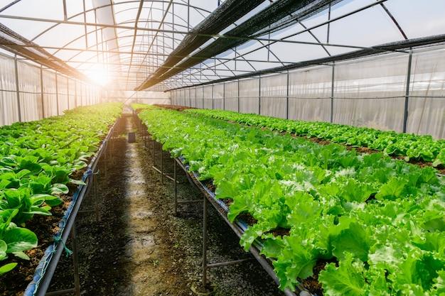 Grüner eichen-salat und grüner cos-salat im bio-bauernhof