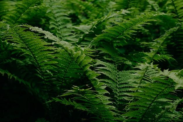 Grüner farn im wald. natürlicher hintergrund