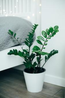 Grüner ficus der zimmerpflanze im weißen topf auf boden nahe dem bett. weißes schlafzimmer interieur