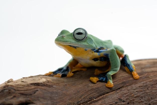 Grüner fliegender frosch lokalisiert auf weißem hintergrund