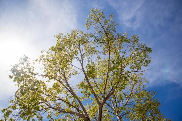 Grüner frischer bodhi-baum mit klarem blauem himmel.