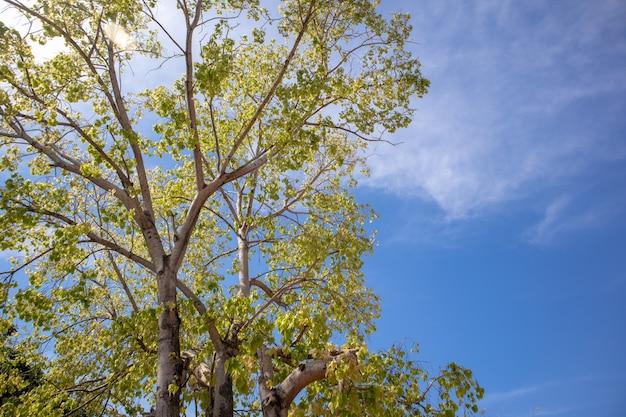 Grüner frischer bodhi-baum mit klarem blauem himmel