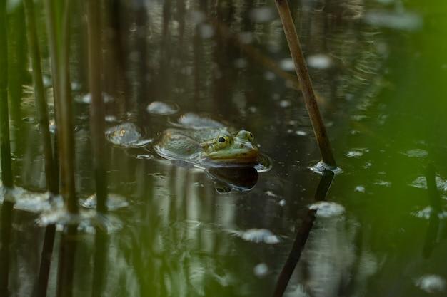 Grüner frosch im teich