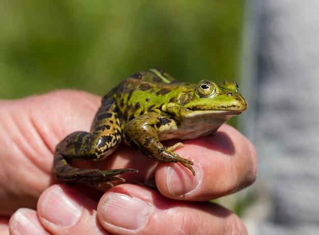 Grüner frosch in der hand eines mannes