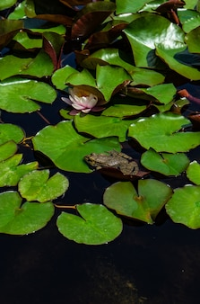 Grüner frosch in einem teich
