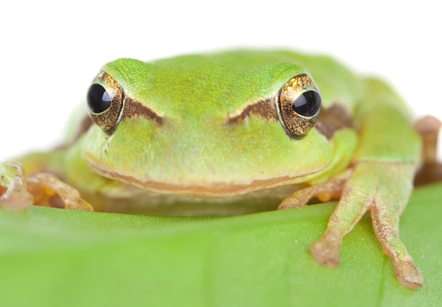 Grüner frosch mit den ausbauchenden augen golden auf einem blatt