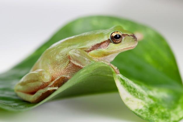 Grüner frosch mit den ausbauchenden augen golden
