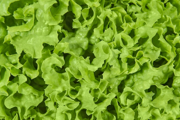 Grüner, gekräuselter salatsalat