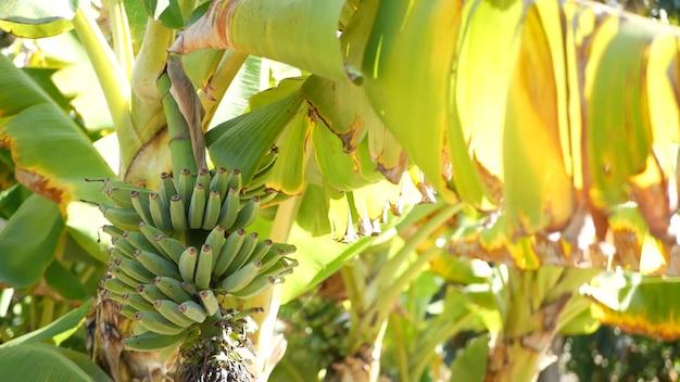 Grüner gelber bananenbaum-fruchtbündel. exotische tropische sonnige sommeratmosphäre. frische saftige blätter im sonnenlicht. sonnendurchfluteter amazonas-dschungel-regenwald oder landwirtschaftliche plantage. sonnenschein und laub.