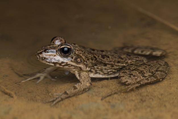 Grüner gemeiner frosch (pelophylax perezi) im wasser